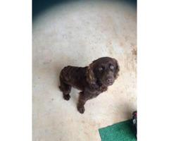 Full blooded Boykin Spaniel puppy $750