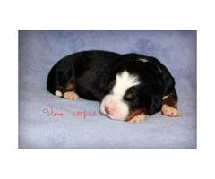 AKC Bernese Mountain Dog pups $1200