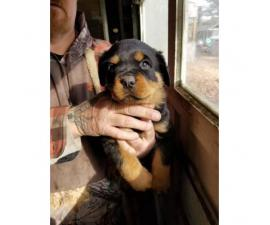 AKC High quality female Rottweiler puppies $1200