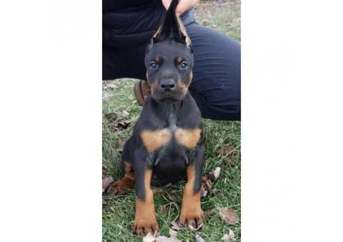 AKC European Doberman puppy for sale