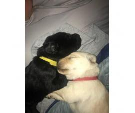 We have both Black and Yellow puppies!