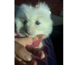 One female pomeranian puppy left 2 months old