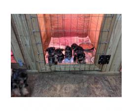 Full breed toy sized Yorkshire Terrier puppies $900