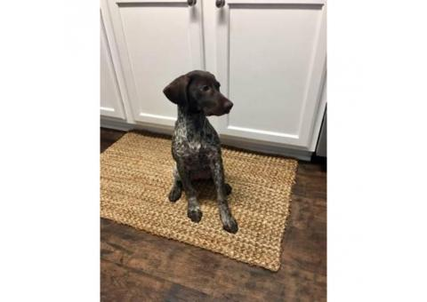 Female German shorted haired pointer puppy 15wks old