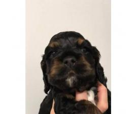 Male cocker spaniel wants a forever home