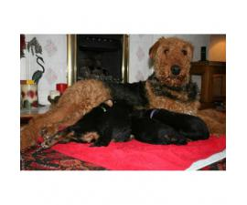2 airedale male puppies for sale $850