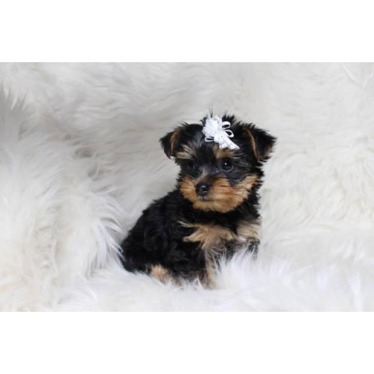 Sweet Teacup Yorkie Puppy for adoption asking 800 in ...