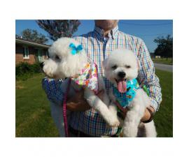 Baby boys Bichon Frise 30 days old