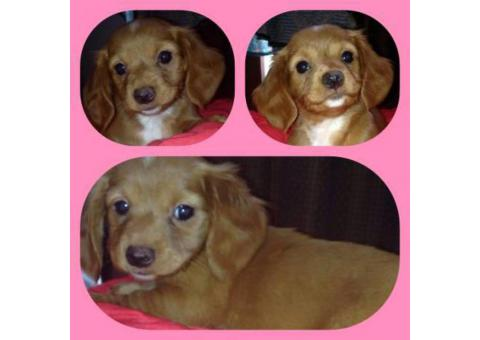 Full blooded dachshund puppies $850
