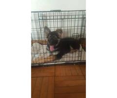 3 months old Puppy German shepherd - $1400