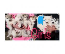 Purebred Siberian huskies from different litters