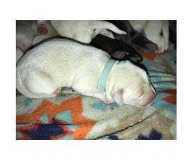 10 AKC labrador retriever puppies to rehome