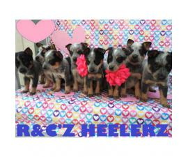 6 Males and 1 female Blue Heelers  available