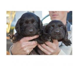 4 Boykin Spaniel Puppies available