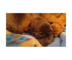 Full breed Shiba inu babies $1700