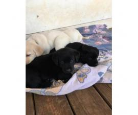 AKC Lab Puppies. 2 black females left