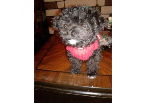 Female toy poodle three months old