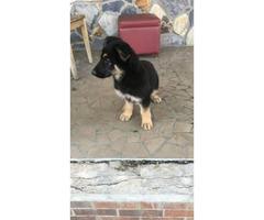 Beautiful 10 weeks old female german shepherd puppy available