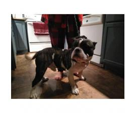 Puppies American bully 650 female 450 male