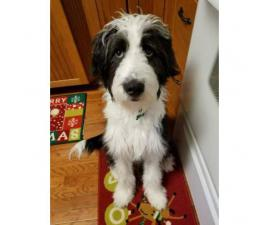 2 months old aussiedoodle puppy  $600