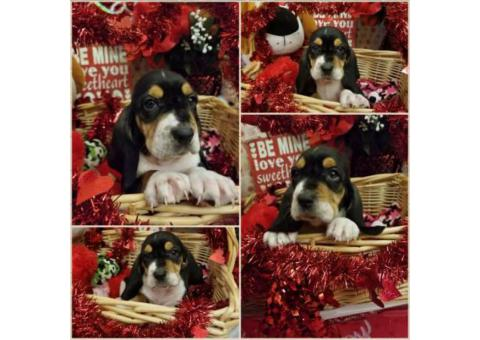 Tri-Colored Basset Hound Puppies only 6 boys left