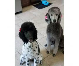 AKC male standard poodle puppy available