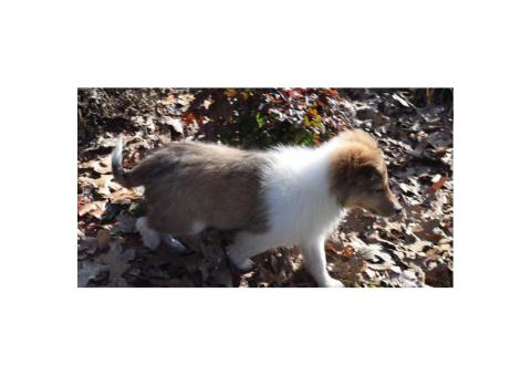 Full akc registered Shetland-Sheepdog-Sheltie available
