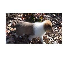 Full akc registered Shetland-Sheepdog-Sheltie available