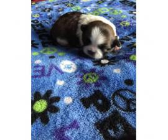 3 sweet girls AKC Shih Tzu Puppies for sale - $1100