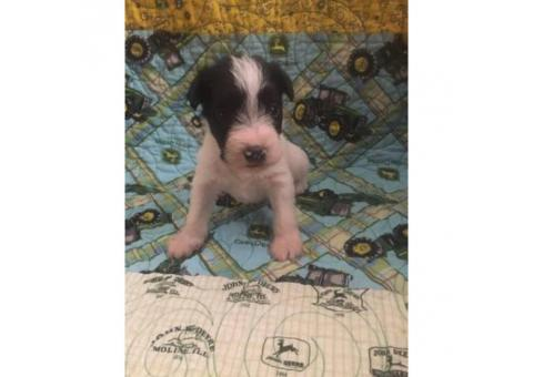 4 Miniature schnauzer puppies for sale