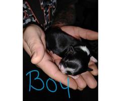 3 beautiful Maltese shih Tzu puppies for sale