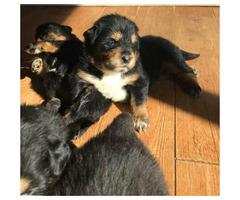 Tibetan mastiff puppy $1250
