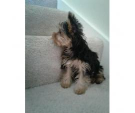 Adorable female Yorkshire Terrier for sale