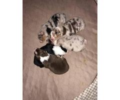 Full blooded Australian Shepherd puppies