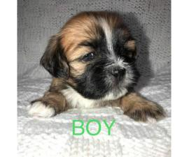 4 Lhasa-apso/Shih-tzu puppies available for adoption