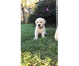 First litter, full blood yellow Labrador's with AKC registration papers
