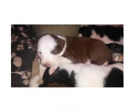 We have 10 Border Collie puppies for sale