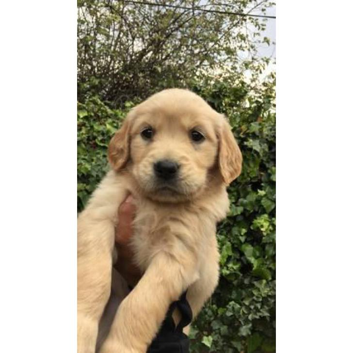 8 weeks old golden retriever puppies 3 males and 3 females