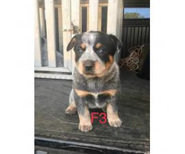 Dual Registered Australian Cattle Dog Puppies (Blue Heelers)