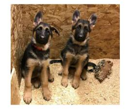 3.5 months old GSD puppies for sale