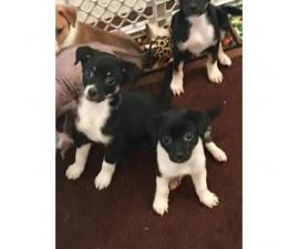 Adorable mixed puppy for sale