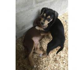 Cur Puppies Available