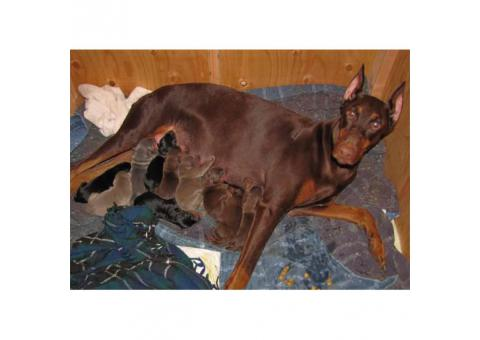 Family AKC DOBERMAN PUPPIES