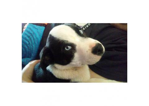 Male  Border Collie Puppy for sale