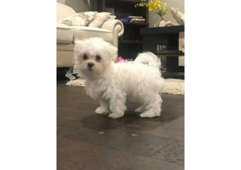 16 weeks old Maltese Puppy for sale