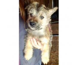11 weeks old  Cairn Terrier Puppies for sale