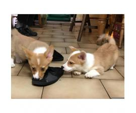 2 Gorgeous Corgi (pembroke) Boy Pups For Sale