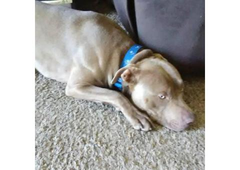10 month old male pitbull not fixed