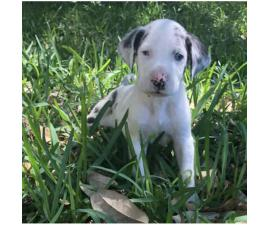 We have Great Dane Puppies for sale