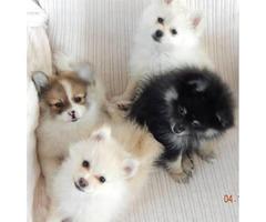 2 purebred Pomeranian puppies